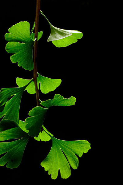 400px-Ginkgo_Biloba_Leaves_-_Black_Background.jpg