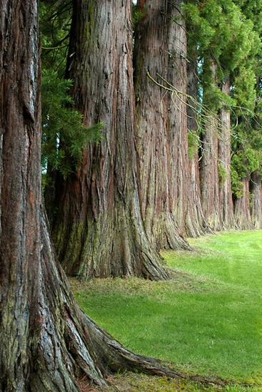 redwoods%20.jpg